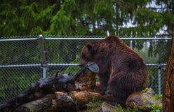 Большой бурый медведь проарретированный в зоопарке Стоковые Изображения