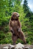 Большой бурый медведь стоя на его задних ногах Стоковые Фото