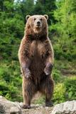 Большой бурый медведь стоя на его задних ногах Стоковые Фотографии RF