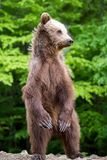 Большой бурый медведь стоя на его задних ногах Стоковое Изображение RF