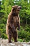 Большой бурый медведь стоя на его задних ногах Стоковая Фотография RF