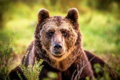 Большой бурый медведь я заболачиваю смотреть в камеру стоковое изображение rf