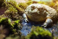 Большой бык жабы в terrarium, около мха стоковая фотография rf
