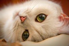 Большой великобританский кот золотого тиканного цвета с огромными зелеными глазами и пушистыми лож кабеля на светлой предпосылке  стоковое фото