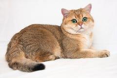 Большой великобританский кот золотого тиканного цвета с огромными зелеными глазами и пушистыми лож кабеля на светлой предпосылке  стоковые изображения rf
