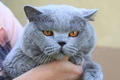 большой великобританский tomcat стоковое изображение rf