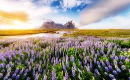 Большой взгляд цветков lupine Накидка Stokksnes места положения Стоковые Изображения