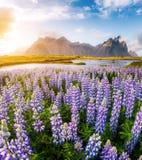 Большой взгляд цветков lupine Накидка Stokksnes места положения, v Стоковое фото RF
