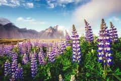 Большой взгляд цветков lupine Накидка Stokksnes места положения, v Стоковое Изображение