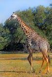 Большой взрослый жираф гуляя на африканских равнинах Стоковое Изображение
