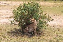 Большой гепард за кустом Простый Serengeti вышесказанного стоковая фотография