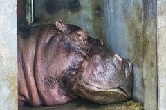 Большой головной бегемот положенный вниз в зоопарк стоковая фотография rf