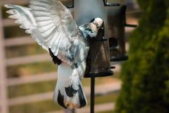 Большой голубь есть на фидере на садах Frederik Meijer стоковые фото