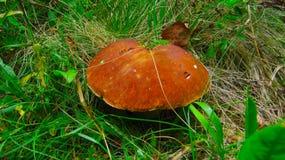 Большой гриб в подосиновике леса Edulis porcini гриба стоковые изображения rf