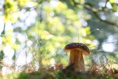 Большой гриб подосиновика в солнечном лесе Стоковые Изображения