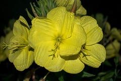 Большой желтый цветок который зацветает только вечером Принцесса ночи стоковое изображение rf