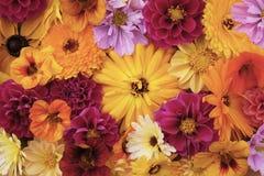 Большой желтый цветок calendula среди смешанных цветенй стоковое фото rf