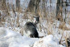 Большой запятнанный кот стоит на поле в снеге среди сухой травы Стоковое фото RF