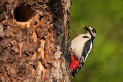 Большой запятнанный майор Dandrocopos Woodpecker стоковое фото rf