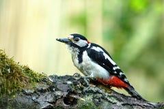 Большой запятнанный майор Dendrocopos woodpecker сидит на f стоковое фото
