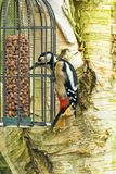 Большой запятнанный подавать Dendrocopos Woodpecker главный на гайках от фидера птицы Стоковое Изображение RF