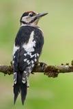 Большой запятнанный Woodpecker (майор Dendrocopos) стоковые фотографии rf