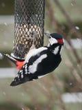 Большой запятнанный woodpecker на фидере птицы Стоковое Фото