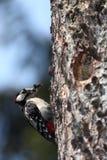 Большой запятнанный Woodpecker Стоковое фото RF