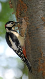 большой запятнанный woodpecker Стоковое Фото
