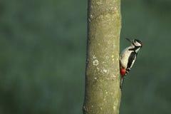 большой запятнанный woodpecker Стоковые Фото