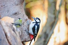 Большой запятнанный Woodpecker Стоковые Фотографии RF