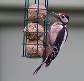 Большой запятнанный Woodpecker Стоковые Изображения