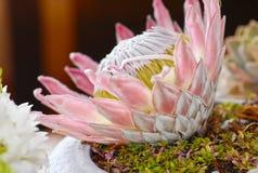 большой зацветая protea цветка Стоковые Изображения