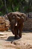 большой звеец слона Стоковое фото RF