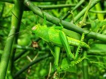 Большой зеленый кузнечик Стоковая Фотография RF