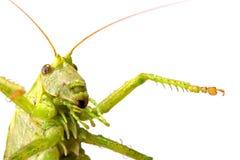большой зеленый саранчук Стоковая Фотография