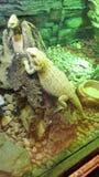 Большой зеленый хамелеон в terrarium стоковое фото rf