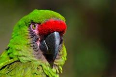 большой зеленый macaw стоковая фотография