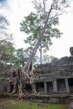 Большой зернокомбайн корня дерева с старым каменным балконом на Preah Khan t стоковые фото