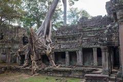Большой зернокомбайн корня дерева с старым каменным балконом на Preah Khan t стоковые изображения rf