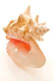 большой изолированный seashell Стоковое Изображение RF