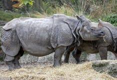 Большой индийский носорог 13 Стоковые Фотографии RF
