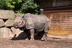 большой индийский носорог Стоковые Фотографии RF