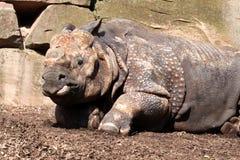 большой индийский носорог Стоковое Изображение