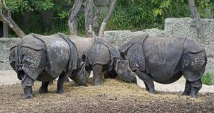 Большой индийский rhinoceros 12 Стоковые Фото