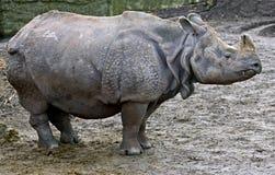большой индийский rhinoceros 5 Стоковое Изображение
