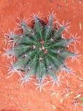 большой кактус круглый Стоковое Фото