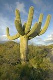 Большой кактус saguaro стоковые изображения