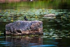 Большой камень в воде с голубем стоковая фотография rf