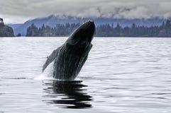 Большой кит пробивая брешь в аляскском океане Стоковые Изображения RF